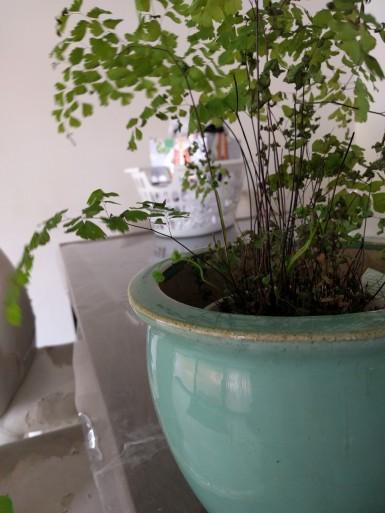 maidenhair fern.jpg
