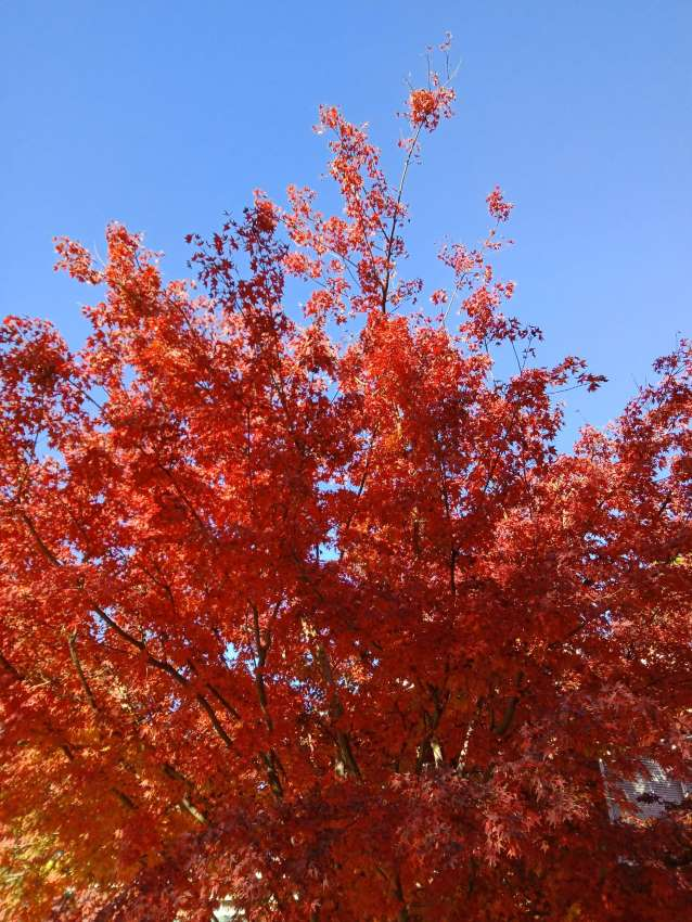 maple tree 1
